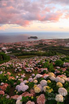 The town of Vila Franca do Campo at sunset, with hydrangeas on the foreground. Sao Miguel, Azores islands, Portugal.