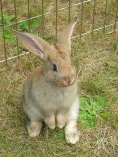 Cute Flemish Giant Baby Rabbit  *dansuehath