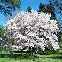 The Yoshino Cherry Tree bursts into bloom in spring and the flowering will last for several weeks. Nature Hills Nursery has the best cherry blossom trees for sale. Order today with our price match guarantee brighten up your landscape! Trees And Shrubs, Flowering Trees, Trees To Plant, White Blossom Tree, Blossom Trees, Yoshino Cherry Tree, Mock Orange, Fast Growing Trees, Palmiers