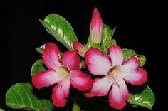 Uma rosa-do-deserto saudável, produz belas e abundantes florações. Foto de 澎湖小雲雀 沙漠玫瑰實生苗開花