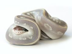 The world's most adorable snake.