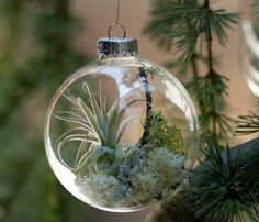 Do you find yourself captivated by tabletop glass terrariums? Can you imagine that you can even decorate your Christmas trees with glass ball ornaments with living plants inside of them? Flora Grubb Gardens has such ornaments for sale. Inside each of them you can find a living Tillandsia air-plant complete with tiny lichens and mosses...