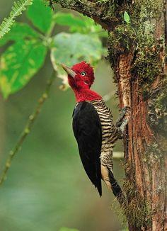 Foto pica-pau-rei (Campephilus robustus) por Luiz Ribenboim | Wiki Aves - A Enciclopédia das Aves do Brasil