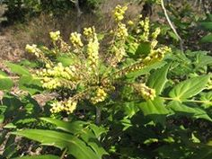 """Mahonia japonica - Plant Finder """"which has long, lilting racemes  of lemon-yellow flowers which smell like lilies-of-the-valley""""-Nichols"""