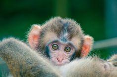 BABY MONKEY by Anish Adhikari, via 500px