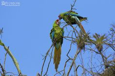 """Paolo Mars posted a photo:  WWW.NEOSELVA.COM  Great Green Guayaquil Macaw (Ara ambiguus guayaquilensis).  A fascinating, native and hardly endangered species, inhabitant from Bosque Protector Cerro Blanco.  An incredible place with """"tons of nature to see"""".  Guacamayo Verde de Guayaquil (Ara ambiguus guayaquilensis).  Una fascinante, endémica y muy amenazada especie, habitante del Bosque Protector Cerro Blanco.  Un lugar increíble con mucho por mostrar."""
