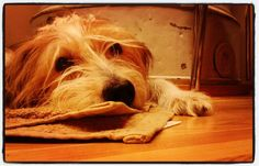 #Pumba #koira #dog #kromfohrländer #lemmikki #kromi #kromfohrlander  #lokakuu #jokiranta #Hartola #ponttöuuni #paritanssikurssi  hyvää yötä