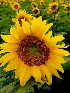 North Dakota sunflower field