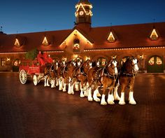 the Clydesdales amazing !!!