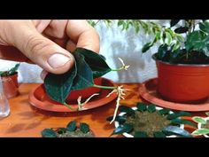 How to grow Ficus Benjamina from single leaf Indoor Planters, Diy Planters, Indoor Garden, Indoor Flowering Plants, Indoor Flowers, House Plant Care, House Plants, Orchid Propagation, Diy Herb Garden