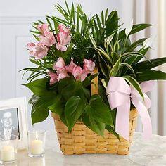 Order Plants Online, Peace Lily Plant, Jade Bonsai, Arrowhead Plant, Dracaena Plant, Flower Factory, Peruvian Lilies, Plant Delivery, Cottage Garden Design
