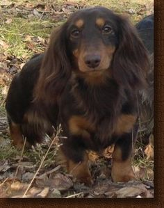 this looks like my sweet baby girl abby, I miss her Dachshund Funny, Brown Dachshund, Long Haired Dachshund, Dachshund Gifts, Mini Dachshund, Dachshund Puppies, Chocolate Dachshund, Weenie Dogs, Tans
