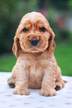 Best Male Dog Names, Cute Names For Dogs, Female Dog Names, Small Puppies, Small Dogs, Cute Puppies, American Cocker Spaniel, Cocker Spaniel Puppies, Le Plus Grand Chien