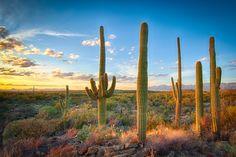 Saguaros just before sunset, Tucson, Arizona