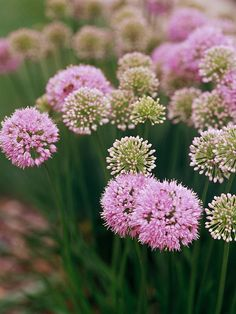 late summer blooming alliums