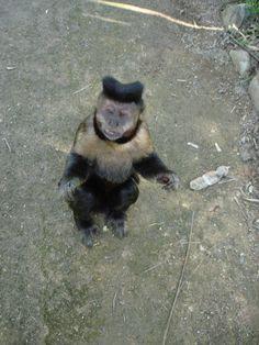 Macaco Prego - Macho Alfa - Jardim Botanico - RJ