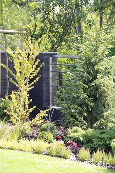 Grujecznik japoński - Cercidiphyllum japonicum - strona 2 - Forum ogrodnicze - Ogrodowisko