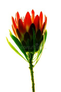 Photo about Bright colorful single protea flower. Image of plant, orange, botanical - 22883045 Protea Flower, Orange Flowers, Image Search, Royalty Free Stock Photos, Garden, Plants, Bright, Colorful, Google Search