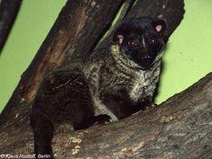 Resultado de imagen para viverridae Arctogalidia