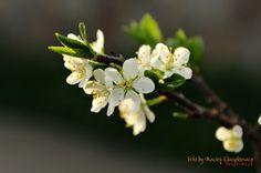 Śliwka wiosną - fragment kwitnącej gałęzi śliwy.