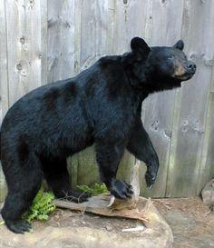 black bear shoulder mount - Google Search