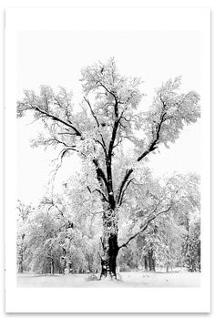 This is my very favorite picture.  I have a copy hanging in my room. Love it! :)  Oak Tree, Snowstorm - Ansel Adams