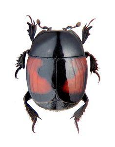 hister quadrinotatus