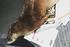 Texas woman finds injured 'seal' was actually 'otter the size of a beagle'