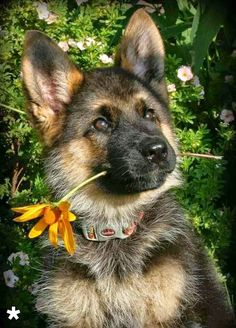 "#GSD #puppy. ""It's for you, mom"""