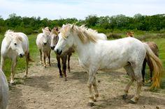 #Cheval #Horse #Pferd #Camargue #Occitanie #TourismeOccitanie #Gard