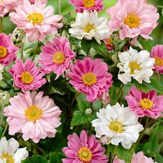 The 19 Common Stereotypes When It Comes To Red Flowers Wallpaper Hardy Perennials, Hardy Plants, Neon Flowers, Cut Flowers, Home Garden Plants, Garden Soil, Anemone Du Japon, Japanese Anemone, Hydrangea Paniculata