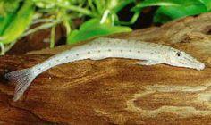 Banana Loach (Acantopsis choirorhynchos)