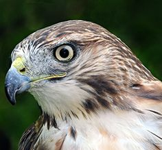 Oliver, the red-tailed hawk.  Photo by Dave Mills