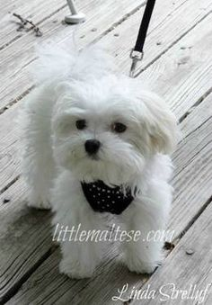 AKC Toy & Teacup Maltese Puppies