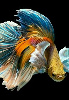 If you want to know how to take care of Betta fish, this article will help you get started and get rid of some of the most common misconceptions that people have about these fish. Betta Aquarium, Betta Fish Tank, Pretty Fish, Beautiful Fish, Animals Beautiful, Tropical Fish Tanks, Fish Art, Fish Fish, Siamese Fighting Fish