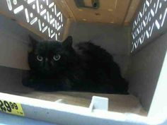 DEZA - A1064475 - - Brooklyn Please Share: *** TO BE DESTROYED 02/10/16 *** PANTHER TRIO NEEDS HOMES TONIGHT!! SWEETIE, DEZA and COLLIN are more cats from a hoarding situation that have been listed over the past couple nights…..These three are all fixed and like their housemates are scared. They are cats that came from a home and will blossom again once they get over the shock of being wrenched away and separated from all they have known. Most of the cats have been