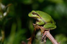 Europese... - Amfibieën en reptielen (kikker, hagedis, etc)