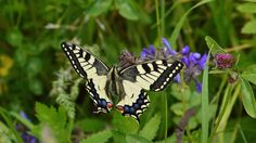 75 Percent Of Flying Insects Are Gone And Scientists Don't Know Why Butterfly Wallpaper, Nature Wallpaper, Flying Insects, Animal Help, Animal Species, Large Animals, Moth, Creatures, Dragonflies