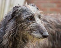 Finn - Scottish Deerhound