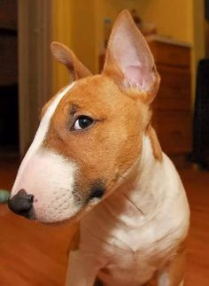 Miniature Bull Terrier Is one of the Amazing and Adorable Bully Breeds. Bull Terrier are very kind dogs Chien Bull Terrier, Mini Bull Terriers, Miniature Bull Terrier, English Bull Terriers, Pitbull Terrier, Bull Terrier Funny, Terrier Dogs, Terrier Mix, Beautiful Dogs
