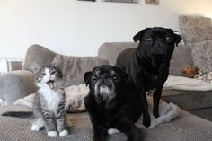 We love animals in our family. See how Maddie's Fund and how celebrity rescue pugs are helping to foster kittens on Redhead Mom. Cute Pugs, Cute Puppies, Shelter Dogs, Animal Shelter, Brindle Pug, Teacup Pug, Pug Rescue, Pug Christmas, Pug Photos