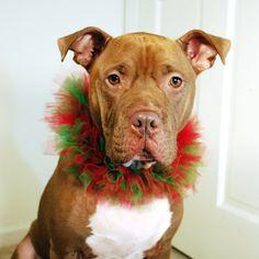 Christmas Dog Collar American Pit Bull Terrier Merry Christmas Card Puppy Holiday Dogs Santa Claus Dog Puppies Xmas Pitbulls