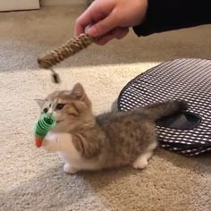 So Cute Watch More Videos Here - Funny Baby - For Watch more videos click in Visit The post So Cute Watch More Videos Here appeared first on Gag Dad. Cute Cat Gif, Cute Funny Animals, Cute Baby Animals, Animals And Pets, Cute Kittens, Cats And Kittens, Kittens Meowing, Siamese Cats, Funny Babies