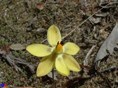 WILDFLOWERS | Western Australia - Vanilla orchid