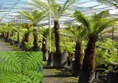 Dicksonia fibrosa is a slow growing, very hardy tree fern which will reach up to in height (although over many decades! Garden Trees, Trees To Plant, Garden Plants, Potted Plants, Cactus Plants, Australian Tree Fern, Baumgarten, Back Gardens, Native Plants