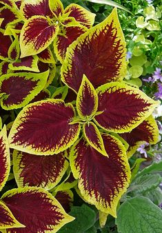 Coleus plants for winter colour: Grow as potted indoor plants, just pinch out the growing tips to keep the plant bushy.  Very easy to care for and propagate - trimmings will root in a jar of water.  Photo by Tim Green.