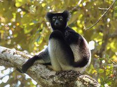 Indri (Indri indri). Photo: David Cook, Flickr