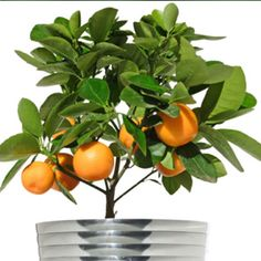 """Plant A Dwarf Citrus Tree Indoors-  Although dwarf citrus trees can reach 8-12′ tall in the garden, growing them in containers helps control their size. With their fragrant flowers, and colorful fruits, they make attractive houseplants, and, like many other plants, you can move them outdoors for a """"summer vacation"""" when the temperatures are reliably warm. 