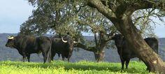 Dehesa landscape and bulls. Spain