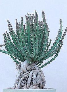 Euphorbia knutii, exotic african bonsai caudex africa succulent